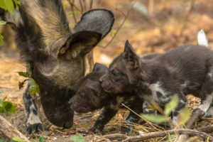 pups, puppies, painted wolf, painted wolves, wild dog, painted dog, conservation