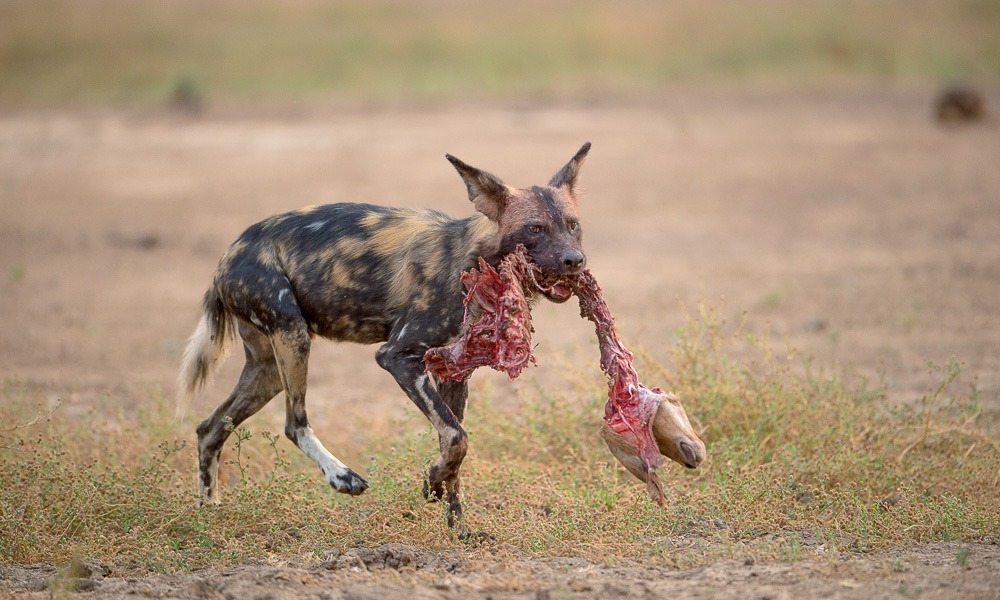 carnivore, painted wolf, painted wolves, wild dog, painted dog, conservation