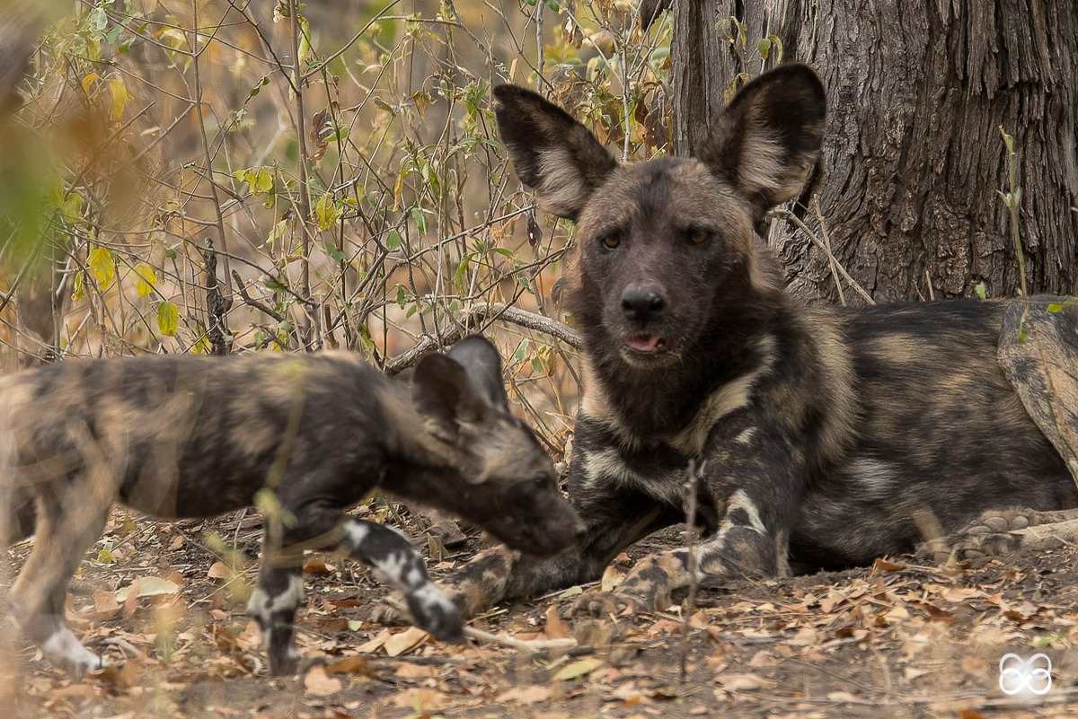 pup, painted wolf, painted wolves, wild dog, painted dog, conservation