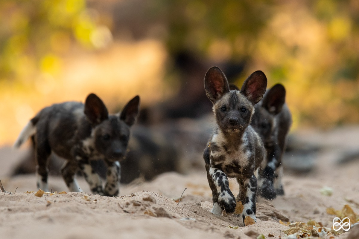 pup, den, puppy, pack, painted wolf, painted wolves, wild dog, painted dog, conservation, zimbabwe