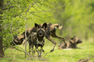 painted wolf, painted wolves, wild dog, painted dog, Mana Pools, Zimbabwe, pack