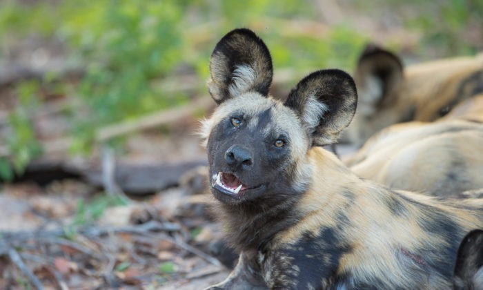 African governments commit to the conservation of painted wolves and other carnivores