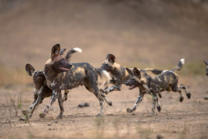 pup, painted wolf, painted wolves, wild dog, painted dog, pack, conservation, zimbabwe