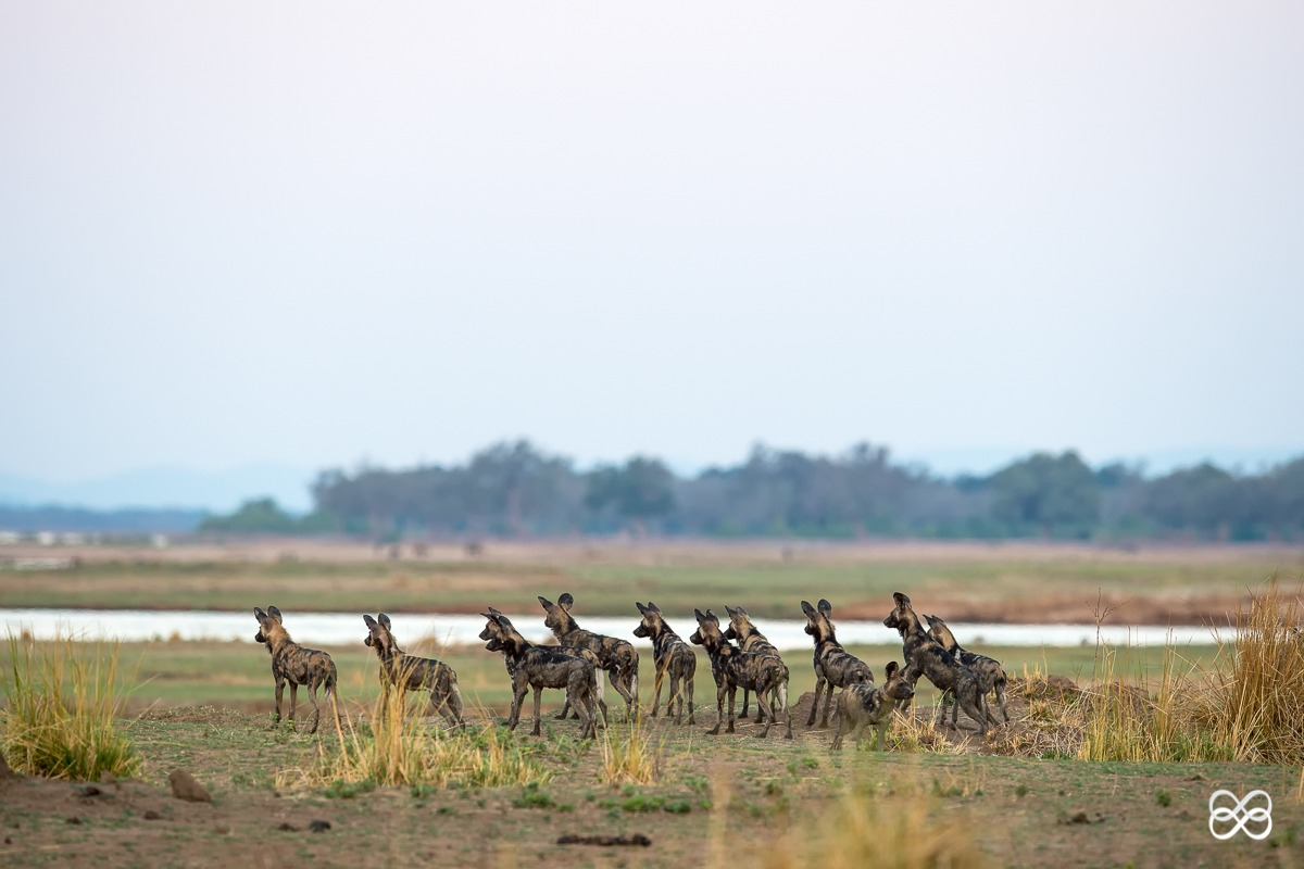 pack, mana pools, painted wolf, painted wolves, wild dog, painted dog, conservation