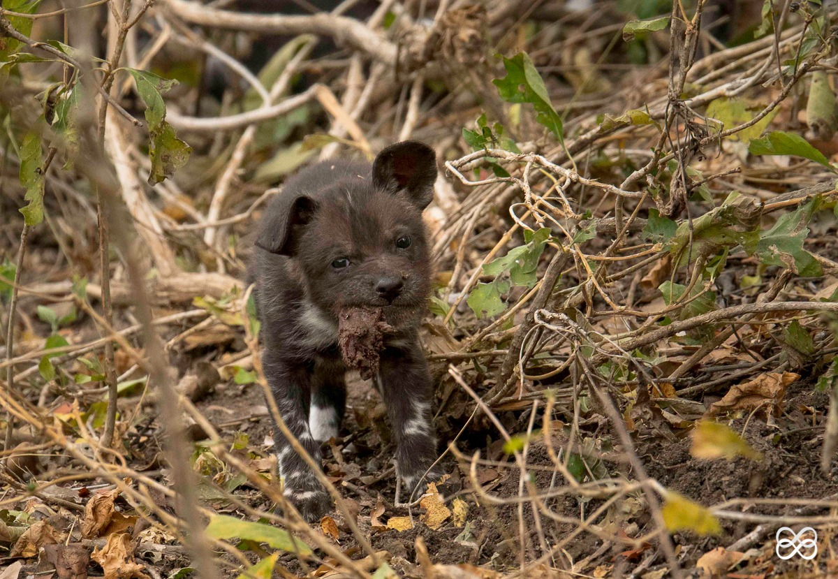 pup, puppy, painted wolf, painted wolves, wild dog, painted dog, conservation