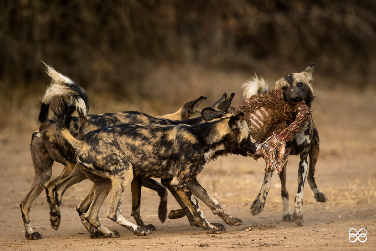 painted wolf, painted wolves, wild dog, painted dog, conservation