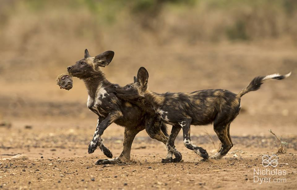 Stunning photograph of painted wolves by Nicholas Dyer honoured by the Wildlife Photographer of the Year competition