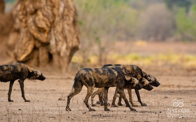 New insight into the remarkable adaptations of painted wolves
