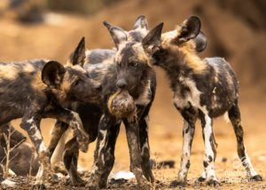 Scientific paper on baboon-eating painted wolves now published!