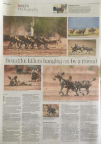 Painted wolves in the press